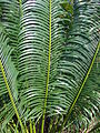 Starr 070306-5232 Cycas circinalis.jpg