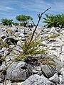 Starr 080603-5760 Casuarina equisetifolia.jpg