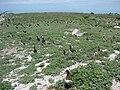 Starr 080605-6609 Brassica nigra.jpg