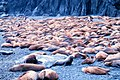 Steller Sea Lion Colony On Middleton Island Alaska.jpg