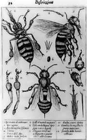 The oldest published image known to have been made with a microscope: bees by Francesco Stelluti, 1630