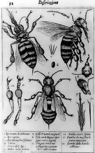 Optical microscope - The oldest published image known to have been made with a microscope: bees by Francesco Stelluti, 1630