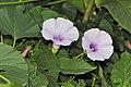 Stictocardia tiliifolia (3).jpg