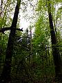 Stojące martwe drzewo, złamane przez wiatr.jpg