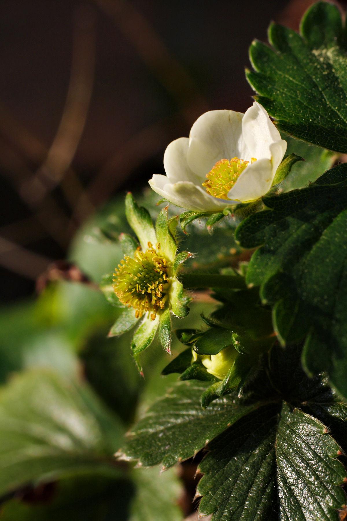 Eper (növénynemzetség) – Wikipédia