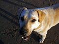 Stray dog (11164551346).jpg