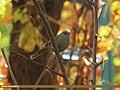 Streaked Laughingthrush (Trochalopteron lineatum) (15709312107).jpg