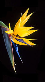 Strelitzia modified.jpg