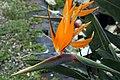 Strelitzia reginae 26zz.jpg