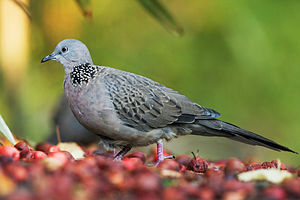 Columbinae - Spotted dove (Spilopelia chinensis) with plumage pattern of S. c. tigrina