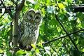 Strix uralensis -Kushiro Zoo -Japan-8a.jpg