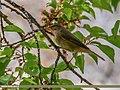 Sulphur-bellied Warbler (Phylloscopus griseolus) (34320951094).jpg