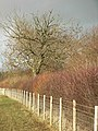 Sunlit hedge - geograph.org.uk - 322519.jpg