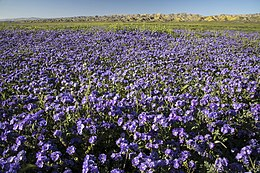 Super Bloom 2017 at Carrizo Plain National Monument (33970371152).jpg