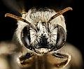 Svastra duplocincta, f, face, Pima Co., Tucson, AZ 2016-08-01-11.29 (29475295072).jpg