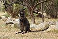 Swamp-Wallaby-joey-Wallabia-bicolor.jpg