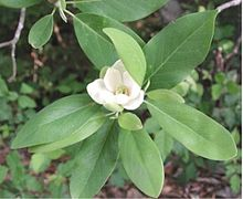 White flower surrounded by long green leaves.