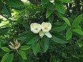 Sweetbay Magnolia Magnolia virginiana Flowers 2816px.jpg