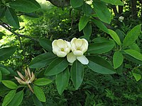 Sweetbay Magnolia Magnolia virginiana Flowers 2816px