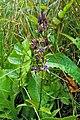 Swertia perennis (7278396384).jpg