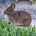 Sylvilagus palustris in Sanibel Island 03.jpg