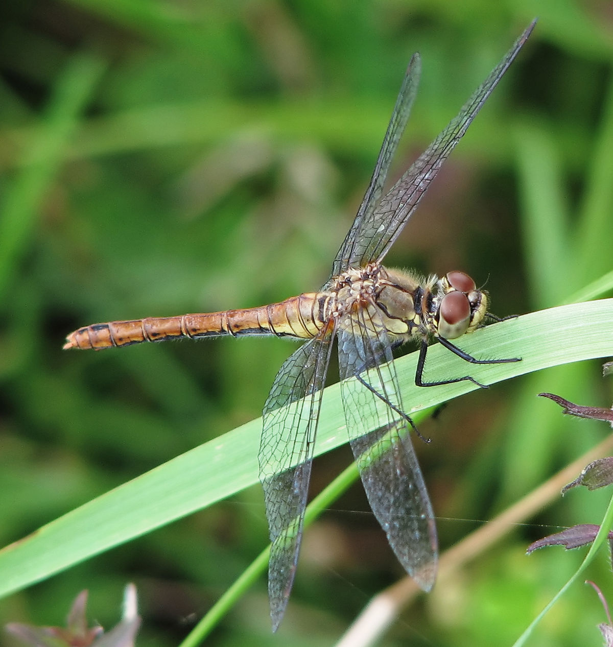 dragonfly simple english wikipedia the free encyclopedia