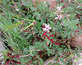 Synchytrium on Erodium cicutarium.jpg