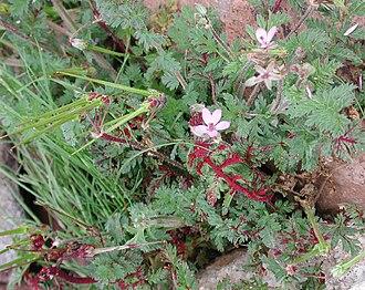 Synchytrium - Synchytrium (prob. S. papillatum) infection of Erodium cicutarium at Lookout Mountain, Phoenix, Maricopa Co., Arizona, USA.