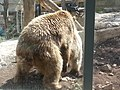 Syrian bears mating, Jerusalem zoo (14305269514).jpg