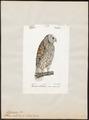 Syrnium nebulosum - 1842-1848 - Print - Iconographia Zoologica - Special Collections University of Amsterdam - UBA01 IZ18400159.tif