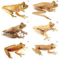 Systematics-of-treefrogs-of-the-Hypsiboas-calcaratus-and-Hypsiboas-fasciatus-species-complex-(Anura-ZooKeys-370-001-g009.jpg
