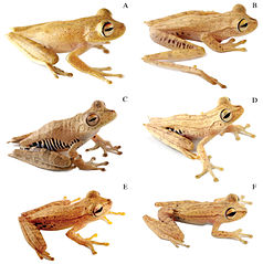 Six light brown treefrogs, labeled A to E
