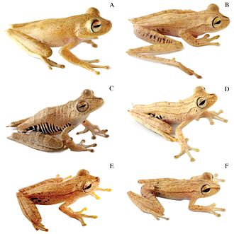 Species complex - At least six treefrog species make up the Hypsiboas calcaratus–fasciatus species complex.