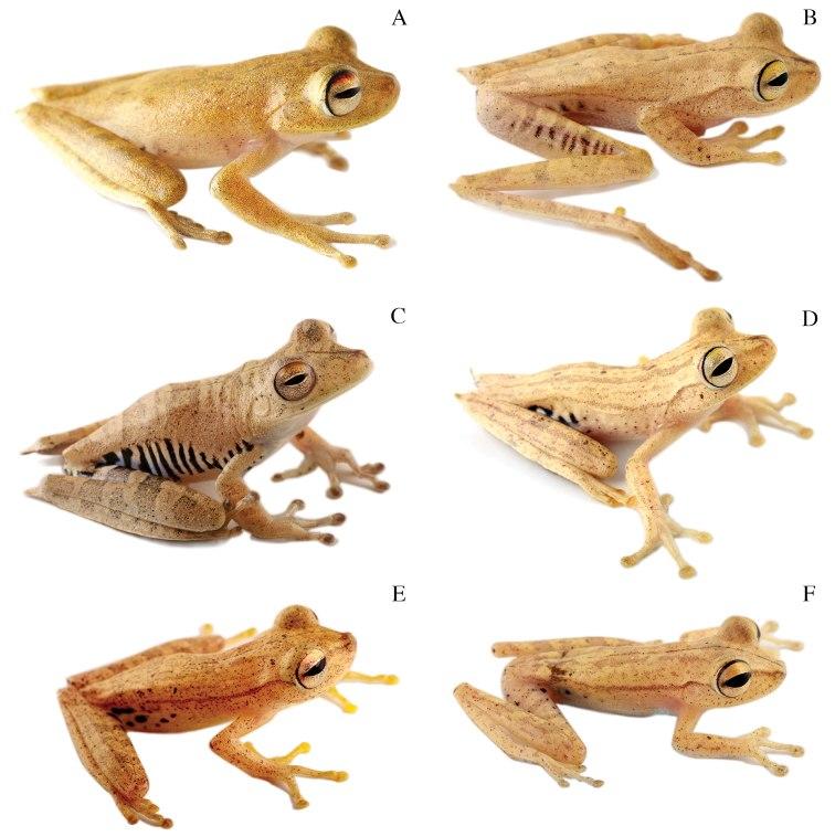 Systematics-of-treefrogs-of-the-Hypsiboas-calcaratus-and-Hypsiboas-fasciatus-species-complex-(Anura-ZooKeys-370-001-g009