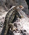 TWIN-SPOTTED SPINY LIZARD Sceloporus bimaculosus. (^) Female. - Flickr - gailhampshire.jpg