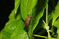 Tabanidae at Kadavoor.jpg