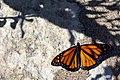 Tagged Monarch (20713940066).jpg