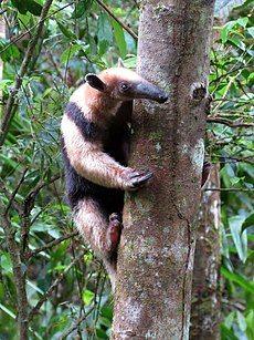 Tamandua cimbing up a tree - Flickr - treegrow (1).jpg