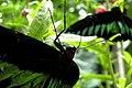 Tanah Rata, Malaysia, Butterflies 2.jpg