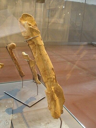 Tarascosaurus salluvicus femur.JPG