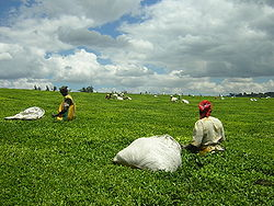 Kericho is home to Kenya's large tea industry.
