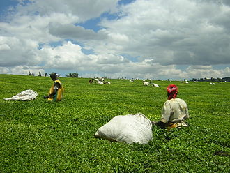 Kericho - Kericho is home to the world's single largest tea plantation.