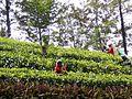 Teepflückerinnen, Sri Lanka.JPG