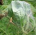 Tent Spider Pisaura mirablis (49253620623).jpg