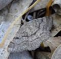 Tephrina inconspicuaria. Geometridae - Flickr - gailhampshire.jpg