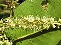 Terminalia elliptica - Indian Laurel flowers at Nedumpoil (5).jpg