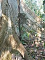 Tetameles nudiflora Buttress (7).jpg