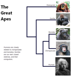The-great-apes.png