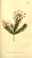 The Botanical Magazine, Plate 350 (Volume 10, 1796).png