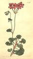 The Botanical Magazine, Plate 493 (Volume 14, 1800).png
